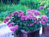 Geraniums at Casalbosco - SOLD